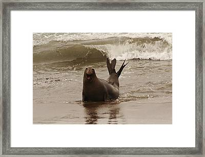 Framed Print featuring the photograph Northern Elephant Seal by Lee Kirchhevel