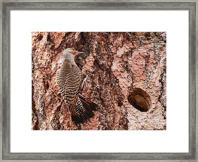 Northern Flicker Balanced On The Bark Framed Print by Michael Qualls