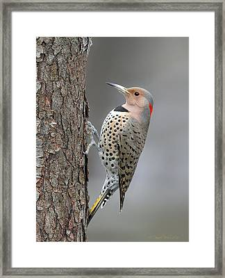 Northern Flicker Framed Print by Daniel Behm