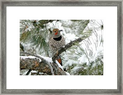 Northern Flicker On Snowy Pine Framed Print