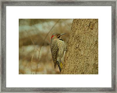 Northern Flicker On Tree Framed Print by Sandy Keeton