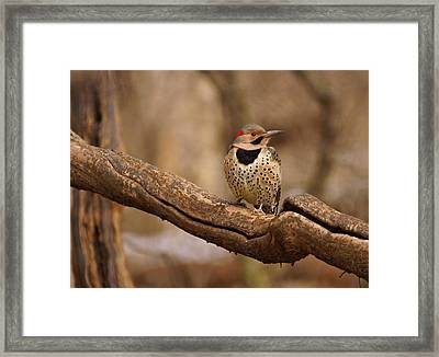 Northern Flicker Framed Print by Sandy Keeton