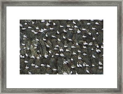 Northern Gannet Colony Shetland Islands Framed Print by Tui De Roy