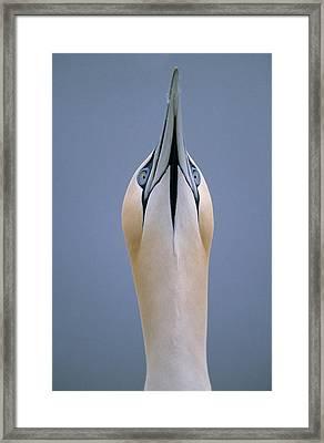 Northern Gannet Skypointing Framed Print by Duncan Usher