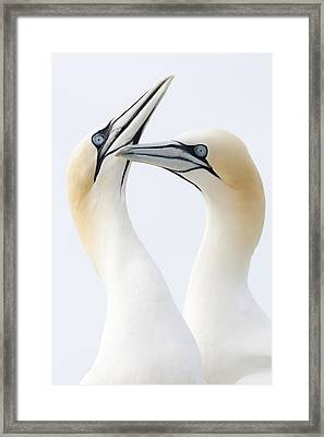 Northern Gannets Greeting Saltee Island Framed Print