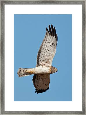 Northern Harrier ( Circus Cyaneus Framed Print by Larry Ditto