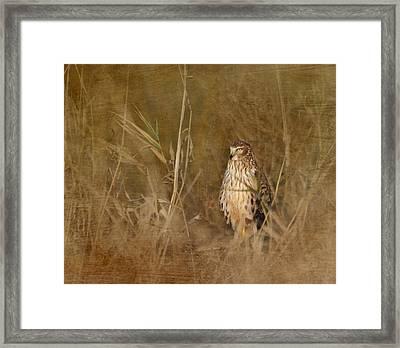 Northern Harrier At Rest Framed Print by Angie Vogel
