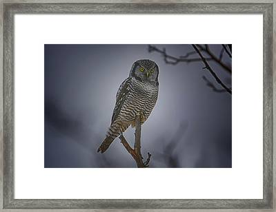 Northern Hawk Owl 2 Framed Print