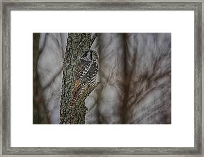 Northern Hawk Owl Framed Print by Gary Hall
