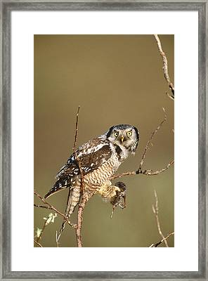 Northern Hawk Owl Framed Print by Paul J. Fusco