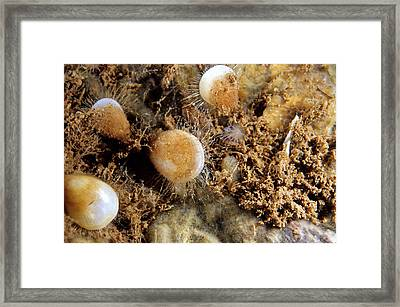 Northern Lamp Shells Framed Print by Andrew J. Martinez