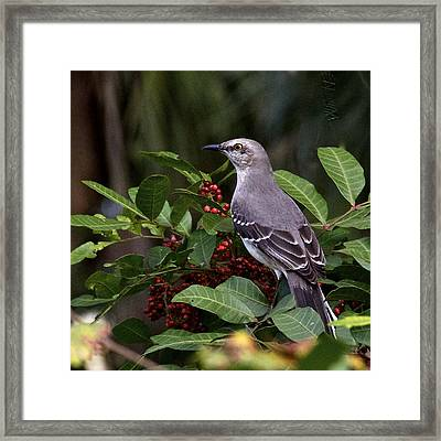 Northern Mocking Bird Framed Print