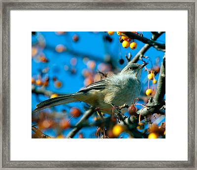 Northern Mockingbird Framed Print by Bob Orsillo