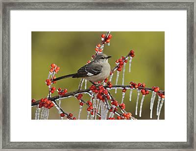 Northern Mockingbird (mimus Polyglottos Framed Print