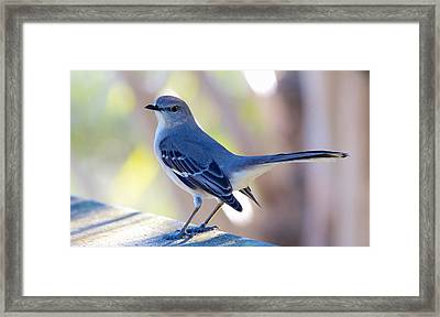 Framed Print featuring the photograph Northern Mockingbird - Moqueur Polyglotte - Mimus Polyglottos by Nature and Wildlife Photography