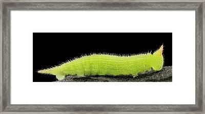 Northern Pearly-eye Caterpillar Framed Print