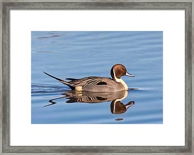 Northern Pintail Drake Framed Print