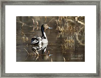 Handsome Northern Pintail Framed Print