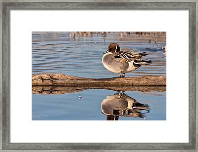 Northern Pintail Duck Reflections Framed Print