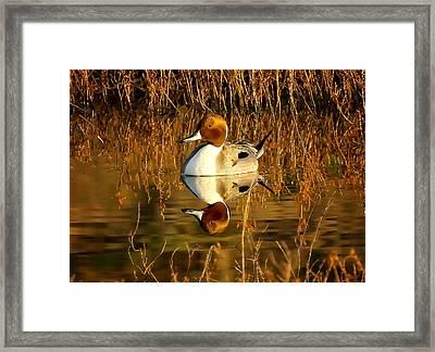Northern Pintail Duck Framed Print by Thomas Kaestner