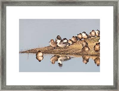 Northern Pintail Ducks Framed Print