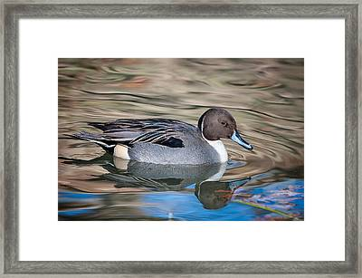 Northern Pintail Framed Print