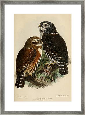 Northern Pygmy Owl Framed Print