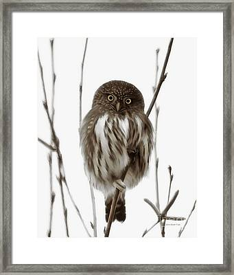 Northern Pygmy Owl - Little One Framed Print