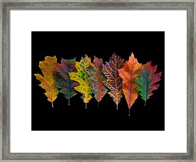 Northern Red Oak Leaves In Autumn Framed Print by Frans Hodzelmans