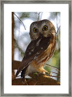Northern Saw-whet Owl II Framed Print