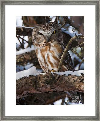 Northern Saw-whet Owl.. Framed Print by Nina Stavlund