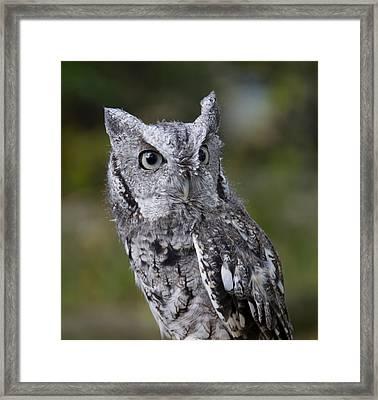 Northern Screech Owl Framed Print