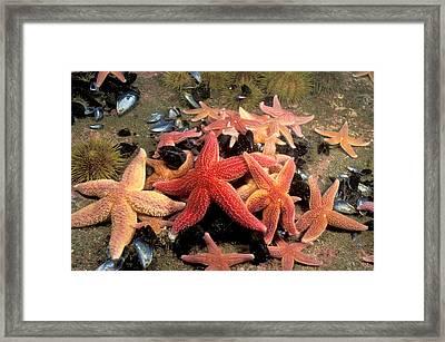 Northern Sea Stars Framed Print by Andrew J. Martinez