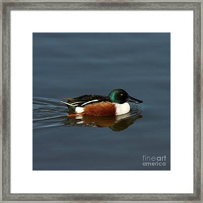 Framed Print featuring the photograph Northern Shoveler by Bob and Jan Shriner