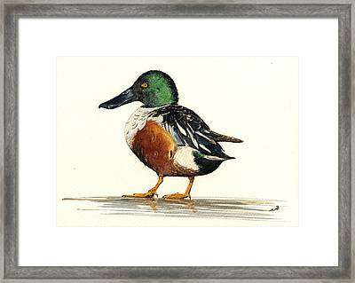 Northern Shoveler Framed Print