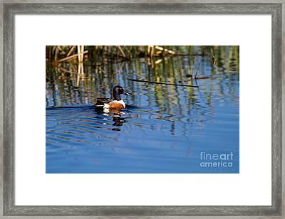Northern Shoveler Drake Framed Print
