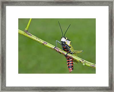 Northern Spotted Grasshopper Framed Print