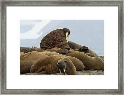 Norway, Svalbard, Svalbard, Prins Karls Framed Print