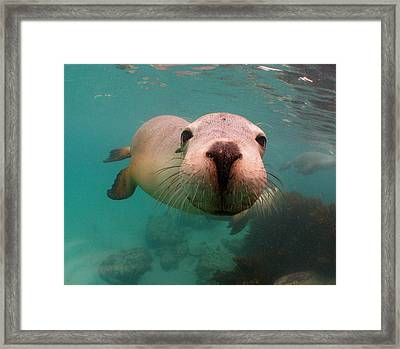 Nosey Sea Lion Framed Print by Crystal Beckmann
