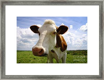 Nosy Cow Framed Print