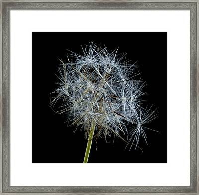 Not So Perfect Dandelion Framed Print by Jean Noren