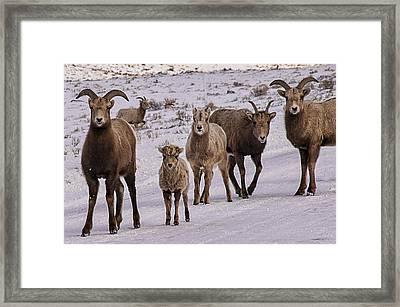 Not Too Sheepish Framed Print by Priscilla Burgers