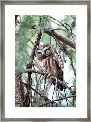 Northern Saw-whet Owl 2 Framed Print