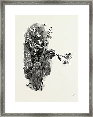 Nova Scotia, Spring Beauty, Sanguinaria, And Dog-tooth Framed Print