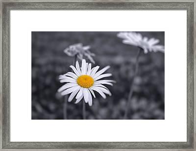November Daisy Framed Print