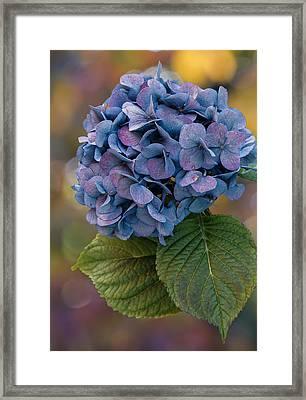 November Hydrangea Framed Print by Angie Vogel
