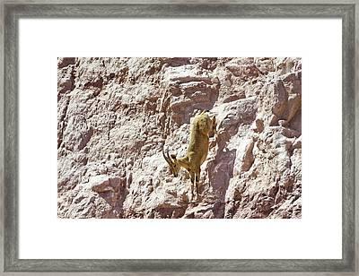 Nubian Ibex (capra Ibex Nubiana) Framed Print