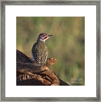 Nubian Woodpecker... Framed Print by Nina Stavlund