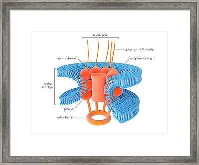 Nuclear Membrane Pore Framed Print by Science Photo Library