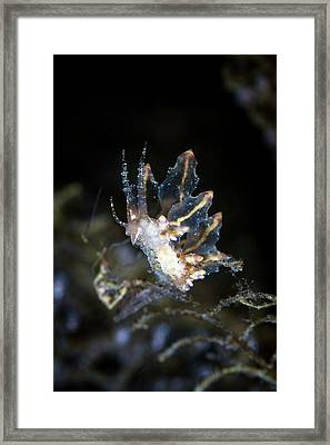 Nudibranch Feeding Framed Print